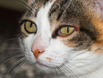 Pet cat with tick near eye. Ixodes scapularis. Royalty Free Stock Photography
