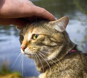 Pet cat for walk in wild. Leash and harness for cats, Amid the rivers and forests Royalty Free Stock Photography