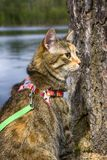 Pet cat for walk in wild. Leash and harness for cats, Amid the rivers and forests Stock Photography