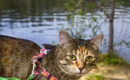 Pet cat for walk in wild. Leash and harness for cats, Amid the rivers and forests Royalty Free Stock Image