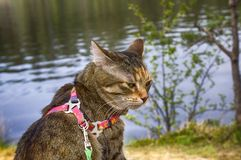 Pet cat for walk in wild. Leash and harness for cats, Amid the rivers and forests Royalty Free Stock Photos