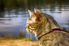 Pet cat for walk in wild. Leash and harness for cats, Amid the rivers and forests Stock Image