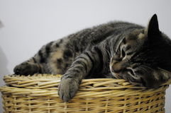 Pet categories: Cat. Eastphoto, tukuchina,  Pet categories: Cat Stock Image
