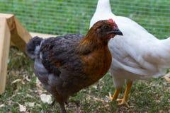Pet chicken in backyard chicken coop stock image