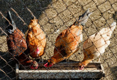 Pet chickens in the henhouse Royalty Free Stock Image