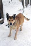 pet Chien neige closeup photo libre de droits