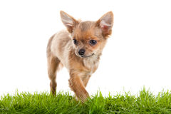 Pet chihuahua on green gras isolated on white background Stock Images