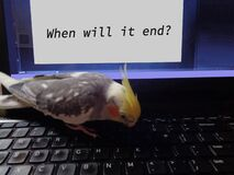 Pet Cockatiel types message on Computer Screen`When Will It End?` - Corona Virus Pandemic