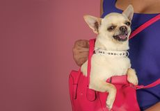 Pet, companion, friend, friendship. Chihuahua dog smiling in pink bag. Protection, alertness, bravery. Puppy face with happy smile on violet background Royalty Free Stock Photos