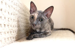 Pet Cornish Rex Cat Laid on Step of Staircase Royalty Free Stock Image