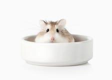 pet Criceto di Roborovski isolato su fondo bianco Immagine Stock Libera da Diritti