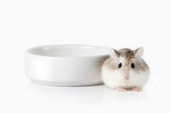 pet Criceto di Roborovski isolato su fondo bianco Fotografie Stock Libere da Diritti
