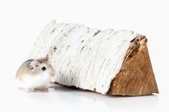pet Criceto di Roborovski isolato su fondo bianco Immagine Stock