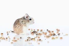 pet Criceto di Roborovski isolato su fondo bianco Immagini Stock Libere da Diritti