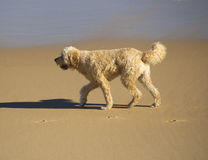 A pet curly coated tan brown dog waking on sandy beach. Royalty Free Stock Photo