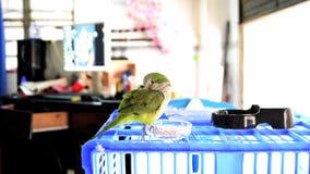 Pet, cute parrot, Monk Parakeet. Pets, cute parrots, Monk Parakeet, green feathers, smart wary stock footage