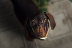 Pet Dachshund Standing on Looking Up Royalty Free Stock Photos