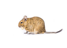 Pet Degu Stock Photography