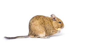 Pet Degu Royalty Free Stock Photography