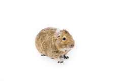 Pet Degu Stock Images