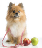 Pet on a diet. Dog, apple and white background Royalty Free Stock Images