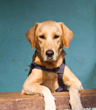 A pet dog. A Labrador breed of pet dog calmly posing for a portrait shot Stock Images