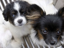 Pet dog. A pair of little pet dogs in white yellow black white color gazing the lens,pitifully Stock Images