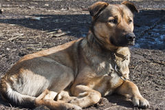 Pet dog. Dog resting on the ground Royalty Free Stock Photo