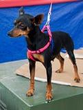 Pet dog. Closeup of pet dog in a market Stock Photo