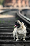 Pet dog. In the railway Stock Image
