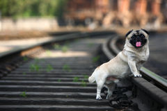 Pet dog. In the railway Royalty Free Stock Photography