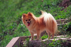 Pet dog. Lovely pet dog standing on the way up hill Stock Photography