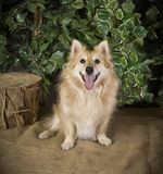 Pet Dog. A Pom Sheltie Cross Breed Pet Dog Royalty Free Stock Photography