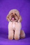 Pet dog. A yellow lovely pet dog royalty free stock photo