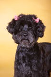 Pet dog. Black lovely pet dog with yellow background royalty free stock image