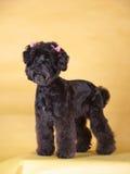 Pet dog. Black lovely pet dog with yellow background stock image