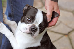 Pet the Dog. Affectionate Boston Terrier rises to greet owner Royalty Free Stock Photos