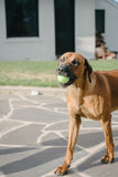 Pet dog with a ball in his mouth Royalty Free Stock Image