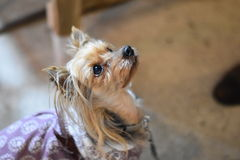 Pet dog. Beautiful long haired terrier gazing at owner Royalty Free Stock Photography