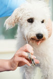 Pet Dog Being Professionally Groomed In Salon Royalty Free Stock Images