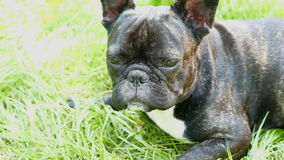 Pet dog breed French Bulldog lying. On the grass stock video