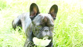 Pet dog breed French Bulldog lying. On the grass stock footage