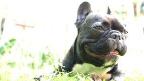 Pet dog breed French Bulldog lying stock footage