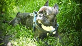 Pet dog breed French Bulldog stock footage