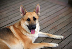 Pet dog on brown deck. A photo of a German Shepherd pet dog sitting on a shaded deck. German Shepherds are often used in K9 American police units Royalty Free Stock Images