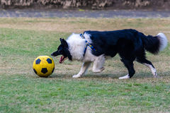 Pet dog chasing the ball Stock Photography