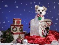 Pet dog in Christmas gift bag Stock Image
