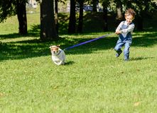 Pet dog drags little kid boy on strained leash. Kid boy playing with Jack Russell Terrier at park Stock Photo
