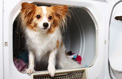 A pet dog in a dryer machine stock photography