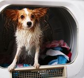 A pet dog in a dryer machine stock image